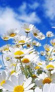 Download free mobile wallpaper 24978: Flowers, Sky, Clouds, Landscape, Plants, Camomile for phone or tab. Download images, backgrounds and wallpapers for mobile phone for free.