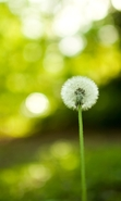 Download free mobile wallpaper 42107: Flowers,Dandelions,Landscape,Plants for phone or tab. Download images, backgrounds and wallpapers for mobile phone for free.