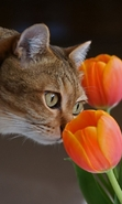 Download free mobile wallpaper 49101: Flowers,Cats,Plants,Tulips,Animals for phone or tab. Download images, backgrounds and wallpapers for mobile phone for free.
