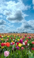 Download free mobile wallpaper 48410: Flowers,Landscape,Fields,Nature,Tulips for phone or tab. Download images, backgrounds and wallpapers for mobile phone for free.