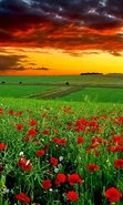 Download free mobile wallpaper 48932: Flowers,Landscape,Fields,Nature,Sunset for phone or tab. Download images, backgrounds and wallpapers for mobile phone for free.