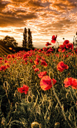 Download free mobile wallpaper 45032: Flowers,Landscape,Fields,Plants,Sunset for phone or tab. Download images, backgrounds and wallpapers for mobile phone for free.