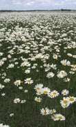 Download free mobile wallpaper 43203: Flowers,Landscape,Camomile for phone or tab. Download images, backgrounds and wallpapers for mobile phone for free.