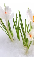 Download free mobile wallpaper 46568: Flowers,Snowdrops,Plants for phone or tab. Download images, backgrounds and wallpapers for mobile phone for free.