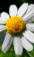 Download free mobile wallpaper 2813: Plants, Flowers, Camomile for phone or tab. Download images, backgrounds and wallpapers for mobile phone for free.