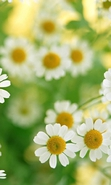 Download free mobile wallpaper 33404: Flowers,Plants,Camomile for phone or tab. Download images, backgrounds and wallpapers for mobile phone for free.