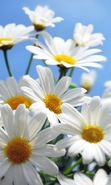 Download free mobile wallpaper 33657: Flowers,Plants,Camomile for phone or tab. Download images, backgrounds and wallpapers for mobile phone for free.