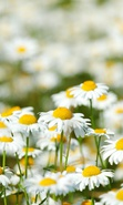 Download free mobile wallpaper 34107: Flowers,Plants,Camomile for phone or tab. Download images, backgrounds and wallpapers for mobile phone for free.