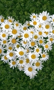 Download free mobile wallpaper 34808: Flowers,Plants,Camomile for phone or tab. Download images, backgrounds and wallpapers for mobile phone for free.