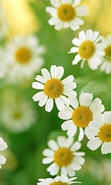 Download free mobile wallpaper 37202: Flowers,Plants,Camomile for phone or tab. Download images, backgrounds and wallpapers for mobile phone for free.
