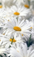 Download free mobile wallpaper 37320: Flowers,Plants,Camomile for phone or tab. Download images, backgrounds and wallpapers for mobile phone for free.
