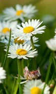 Download free mobile wallpaper 37384: Flowers,Plants,Camomile for phone or tab. Download images, backgrounds and wallpapers for mobile phone for free.