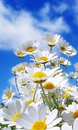 Download free mobile wallpaper 38500: Flowers,Plants,Camomile for phone or tab. Download images, backgrounds and wallpapers for mobile phone for free.