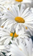 Download free mobile wallpaper 40625: Flowers,Plants,Camomile for phone or tab. Download images, backgrounds and wallpapers for mobile phone for free.