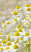 Download free mobile wallpaper 42535: Flowers,Plants,Camomile for phone or tab. Download images, backgrounds and wallpapers for mobile phone for free.