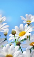 Download free mobile wallpaper 43599: Flowers,Plants,Camomile for phone or tab. Download images, backgrounds and wallpapers for mobile phone for free.