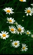 Download free mobile wallpaper 43708: Flowers,Plants,Camomile for phone or tab. Download images, backgrounds and wallpapers for mobile phone for free.