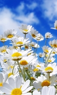 Download free mobile wallpaper 43822: Flowers,Plants,Camomile for phone or tab. Download images, backgrounds and wallpapers for mobile phone for free.