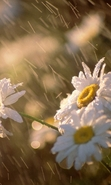 Download free mobile wallpaper 45128: Flowers,Plants,Camomile for phone or tab. Download images, backgrounds and wallpapers for mobile phone for free.
