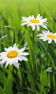 Download free mobile wallpaper 45374: Flowers,Plants,Camomile for phone or tab. Download images, backgrounds and wallpapers for mobile phone for free.