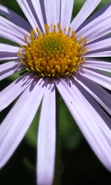 Download free mobile wallpaper 46163: Flowers,Plants,Camomile for phone or tab. Download images, backgrounds and wallpapers for mobile phone for free.