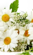 Download free mobile wallpaper 46451: Flowers,Plants,Camomile for phone or tab. Download images, backgrounds and wallpapers for mobile phone for free.