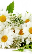 Download free mobile wallpaper 46884: Flowers,Plants,Camomile for phone or tab. Download images, backgrounds and wallpapers for mobile phone for free.