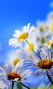 Download free mobile wallpaper 47464: Flowers,Plants,Camomile for phone or tab. Download images, backgrounds and wallpapers for mobile phone for free.