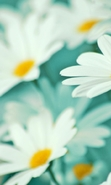 Download free mobile wallpaper 47478: Flowers,Plants,Camomile for phone or tab. Download images, backgrounds and wallpapers for mobile phone for free.