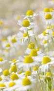 Download free mobile wallpaper 47766: Flowers,Plants,Camomile for phone or tab. Download images, backgrounds and wallpapers for mobile phone for free.