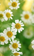 Download free mobile wallpaper 48093: Flowers,Plants,Camomile for phone or tab. Download images, backgrounds and wallpapers for mobile phone for free.