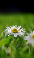 Download free mobile wallpaper 48420: Flowers,Plants,Camomile for phone or tab. Download images, backgrounds and wallpapers for mobile phone for free.
