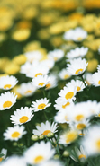 Download free mobile wallpaper 49612: Flowers,Plants,Camomile for phone or tab. Download images, backgrounds and wallpapers for mobile phone for free.
