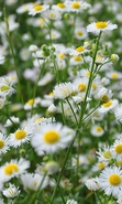 Download free mobile wallpaper 50017: Flowers,Plants,Camomile for phone or tab. Download images, backgrounds and wallpapers for mobile phone for free.
