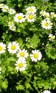 Download free mobile wallpaper 5775: Plants, Flowers, Camomile for phone or tab. Download images, backgrounds and wallpapers for mobile phone for free.