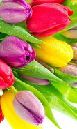 Download free mobile wallpaper 19593: Flowers, Plants, Tulips for phone or tab. Download images, backgrounds and wallpapers for mobile phone for free.