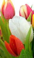 Download free mobile wallpaper 31046: Flowers,Plants,Tulips for phone or tab. Download images, backgrounds and wallpapers for mobile phone for free.