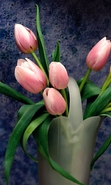 Download free mobile wallpaper 32727: Flowers,Plants,Tulips for phone or tab. Download images, backgrounds and wallpapers for mobile phone for free.