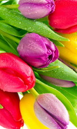 Download free mobile wallpaper 38180: Flowers,Plants,Tulips for phone or tab. Download images, backgrounds and wallpapers for mobile phone for free.
