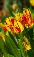 Download free mobile wallpaper 38301: Flowers,Plants,Tulips for phone or tab. Download images, backgrounds and wallpapers for mobile phone for free.