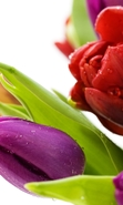 Download free mobile wallpaper 44819: Flowers,Plants,Tulips for phone or tab. Download images, backgrounds and wallpapers for mobile phone for free.