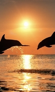 Download free mobile wallpaper 45867: Dolfins,Sea,Sunset,Animals for phone or tab. Download images, backgrounds and wallpapers for mobile phone for free.
