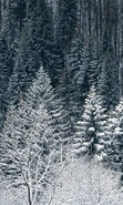 Download free mobile wallpaper 25713: Trees, Fir-trees, Landscape, Snow, Winter for phone or tab. Download images, backgrounds and wallpapers for mobile phone for free.