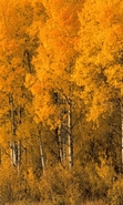 Download free mobile wallpaper 41930: Trees,Birches,Autumn,Landscape,Nature for phone or tab. Download images, backgrounds and wallpapers for mobile phone for free.