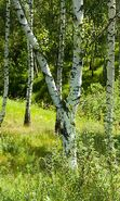Download free mobile wallpaper 23719: Trees, Birches, Landscape, Grass for phone or tab. Download images, backgrounds and wallpapers for mobile phone for free.