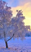 Download free mobile wallpaper 27621: Trees, Landscape, Snow, Sunset, Winter for phone or tab. Download images, backgrounds and wallpapers for mobile phone for free.