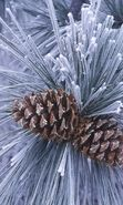 Download free mobile wallpaper 26566: Trees, Plants, Cones, Pine, Winter for phone or tab. Download images, backgrounds and wallpapers for mobile phone for free.