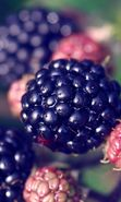 Download free mobile wallpaper 24055: Food, Fruits, Berries, Blackberry for phone or tab. Download images, backgrounds and wallpapers for mobile phone for free.