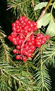 Download free mobile wallpaper 37270: Fir-trees,Berries,Plants for phone or tab. Download images, backgrounds and wallpapers for mobile phone for free.