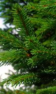 Download free mobile wallpaper 1173: Plants, Needle, Fir-trees for phone or tab. Download images, backgrounds and wallpapers for mobile phone for free.